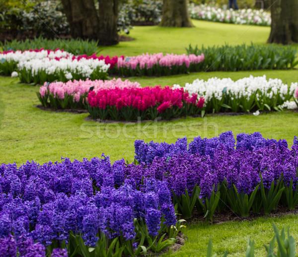 Jacinto flores flores da primavera primavera sol jardim Foto stock © EwaStudio
