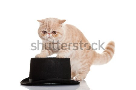Exotic shorthair cat. Cute tabby kitten playing on white backgro Stock photo © EwaStudio