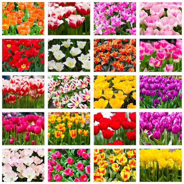 Tulipas colagem flores da primavera natureza verão verde Foto stock © EwaStudio