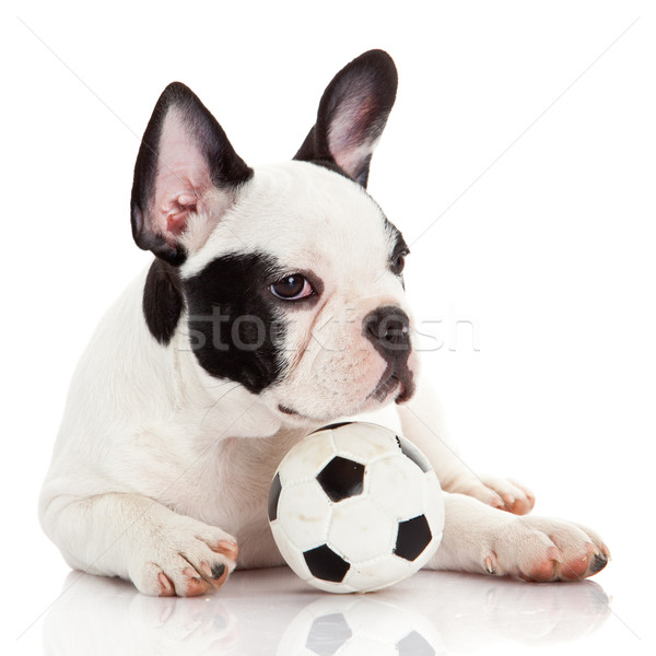Stock photo: French bulldog puppy with toy  ball over white