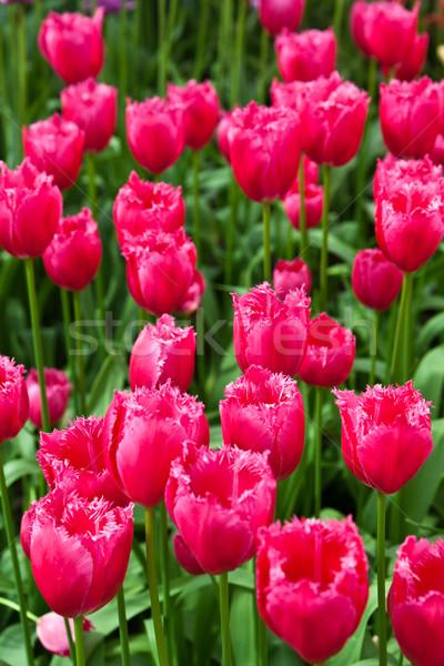 Foto stock: Colorido · tulipas · belo · flores · da · primavera · primavera · paisagem