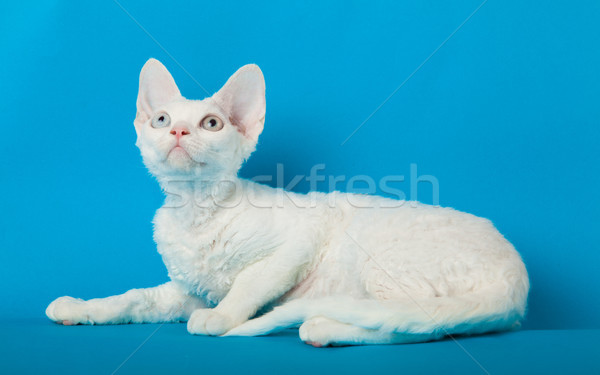 Devon Rex cat on blue background  Stock photo © EwaStudio