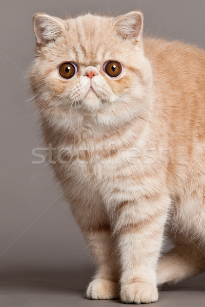 Stockfoto: Exotisch · korthaar · kat · perzische · kat · grijs · ogen