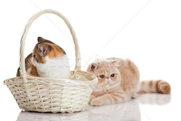 Exotic shorthair cat.  Two cats sitting Stock photo © EwaStudio