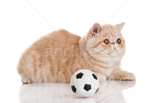ストックフォト: エキゾチック · ショートヘア · 猫 · かわいい · 子猫 · 演奏