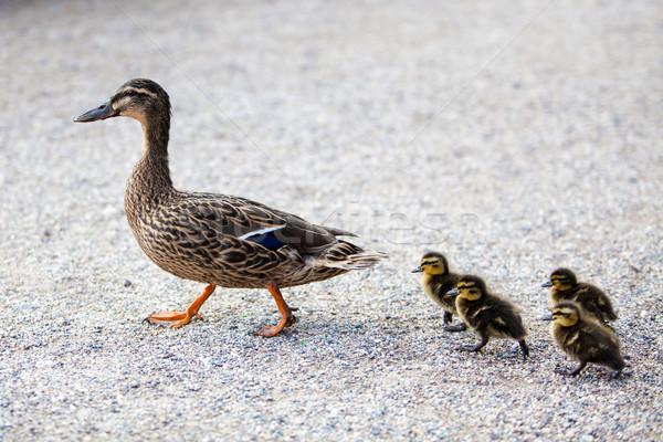 Familie vogel moeder jonge zorg zwemmen Stockfoto © EwaStudio