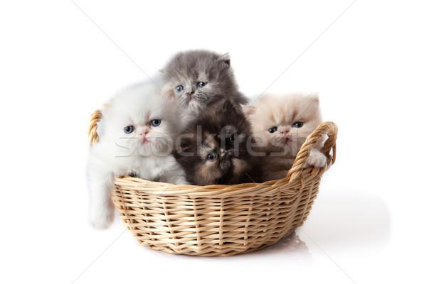 little kitten on white background. persian kitten Stock photo © EwaStudio