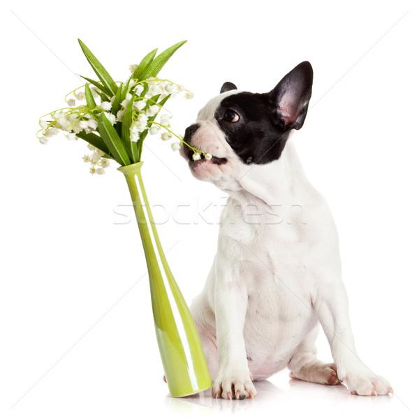 French bulldog  portrait on a white background.  Stock photo © EwaStudio