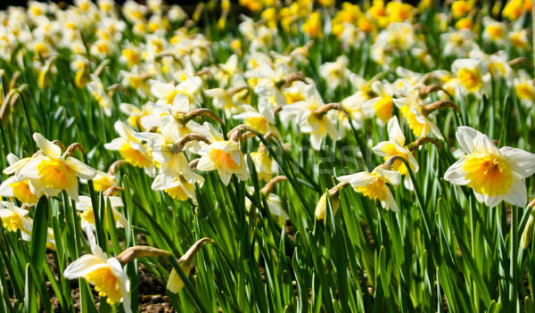 narcissus flowers. Stock photo © EwaStudio
