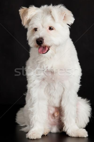Jungen weiß Hund schwarz Haar Hintergrund Stock foto © EwaStudio