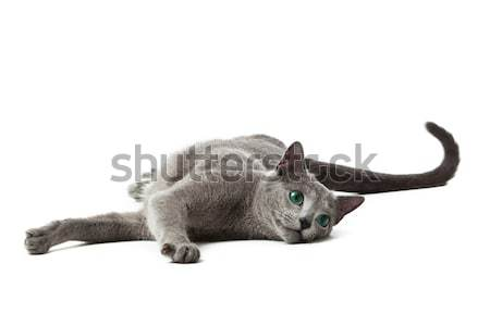 Russian Blue cat on white .  Stock photo © EwaStudio