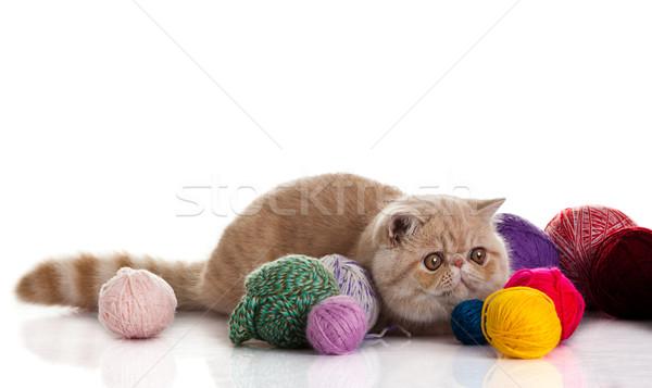 экзотический короткошерстная кошки молодые студию Сток-фото © EwaStudio
