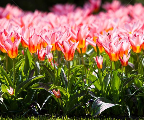Schönen Frühlingsblumen Tulpen Gras Blatt Sommer Stock foto © EwaStudio