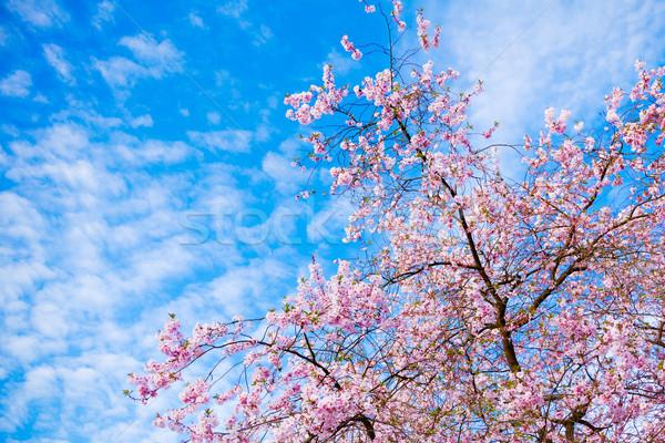 Photo stock: Sakura · fleurs · floraison · belle · rose · cerisiers · en · fleurs
