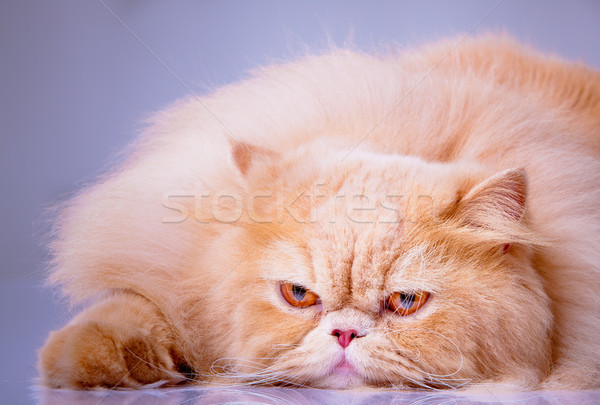 persian cat isolated on white. Persian cat portrait Stock photo © EwaStudio