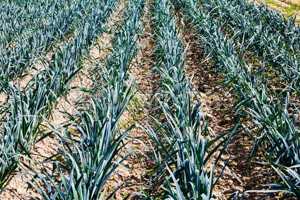 Knoflook plantage voorjaar voedsel natuur blad Stockfoto © EwaStudio