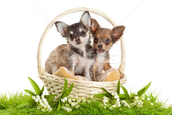 Chihuahua puppies. lovely puppy s.  portrait of puppies in a bas Stock photo © EwaStudio