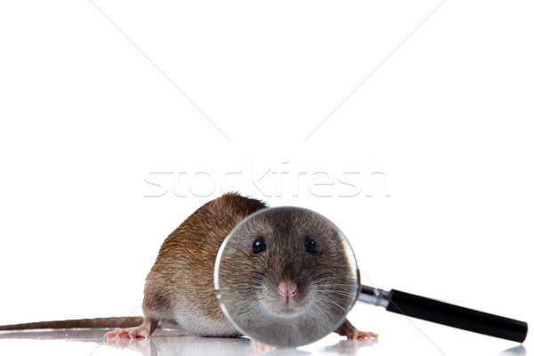 Rat looks through a magnifying glass Stock photo © EwaStudio