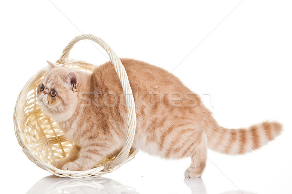 Exotic shorthair cat. Adorable  kitten with basket on white back Stock photo © EwaStudio