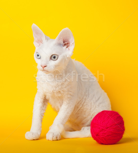 Devon Rex cat on yellow background  Stock photo © EwaStudio