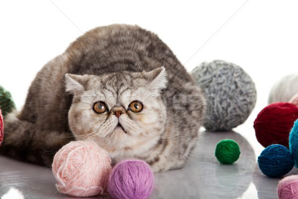 Exótico shorthair gato jovem estúdio Foto stock © EwaStudio