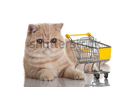 Exotic shorthair cat. cat with shopping cart isolated on white Stock photo © EwaStudio