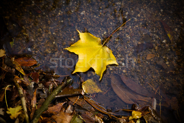 Amarelo maple leaf nadar água chuva Foto stock © EwaStudio