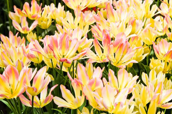 Colorat Lalele Frumos Flori De Primavara