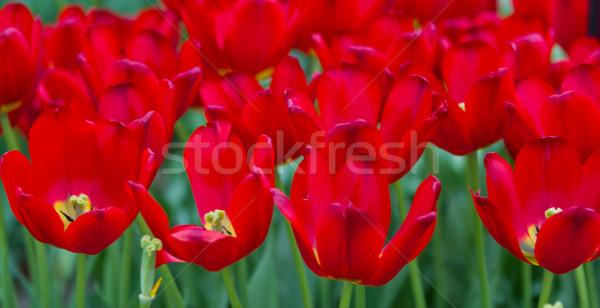 colorful tulips. Beautiful spring flowers. background of flowers Stock photo © EwaStudio