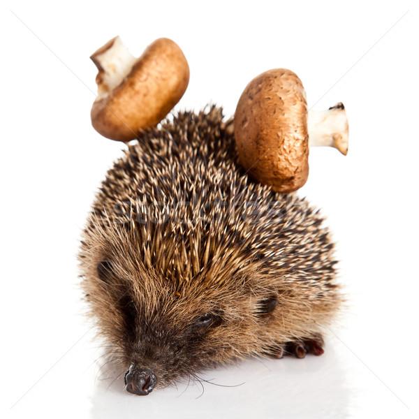 hedgehog isolated. Stock photo © EwaStudio
