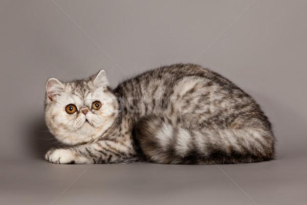 ストックフォト: エキゾチック · ショートヘア · 猫 · ペルシャ猫 · グレー · 目