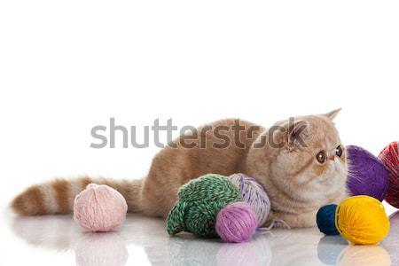 Exotic shorthair cat.  Cat with balls of threads. Stock photo © EwaStudio