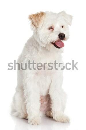Güzel köpek yalıtılmış beyaz göz ağız Stok fotoğraf © EwaStudio