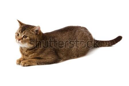 Stock fotó: Brit · rövidszőrű · macska · fehér · izolált · természet