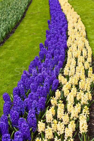 Frühlingsblume Hyazinthe grünen blau Anlage Park Stock foto © EwaStudio