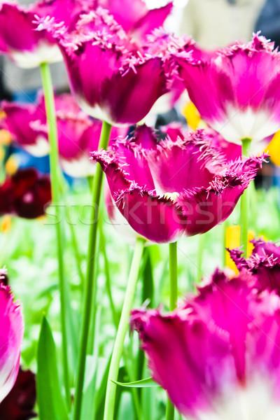 Belo flores da primavera tulipas grama folha verão Foto stock © EwaStudio