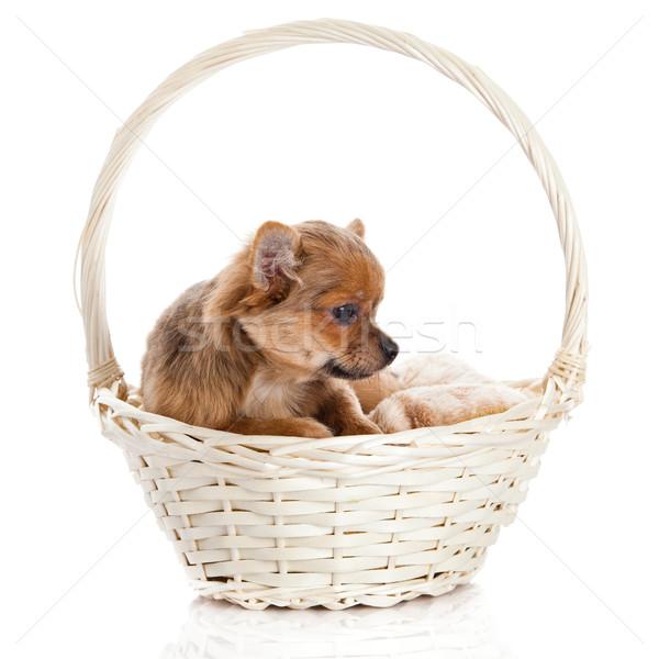 chihuahua in the basket. Stock photo © EwaStudio