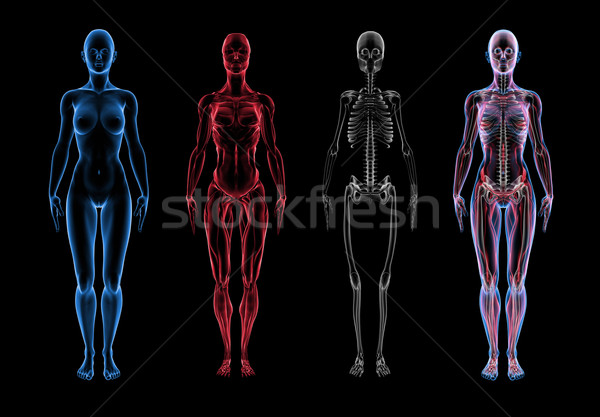 Homme anatomie 3D corps muscle squelette Photo stock © eyeidea