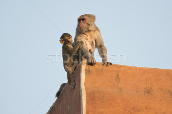 Telhados macaco jovem telhado indiano Foto stock © faabi