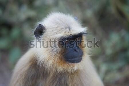 グレー インド 肖像 典型的な インド 猿 ストックフォト © faabi