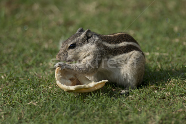 Northern Palm Squirrel feeding Stock photo © faabi