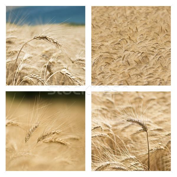 Collage of Wheat Stock photo © faabi