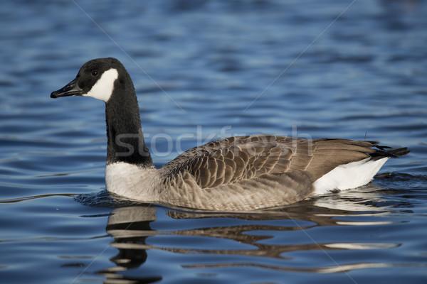 Canada gans wetenschappelijk naam natuur vogel Stockfoto © faabi