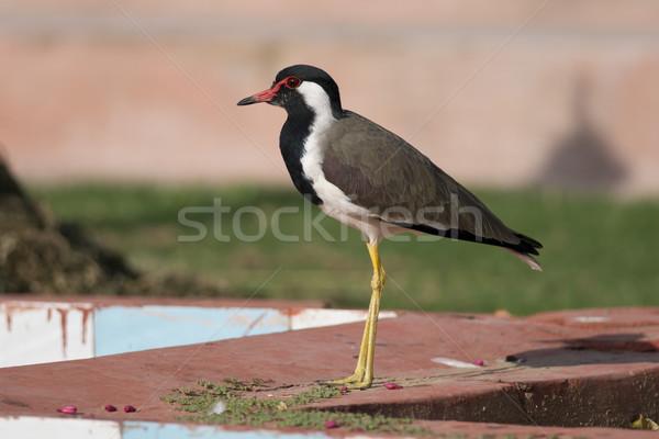 Vermelho típico indiano pássaro animal Ásia Foto stock © faabi