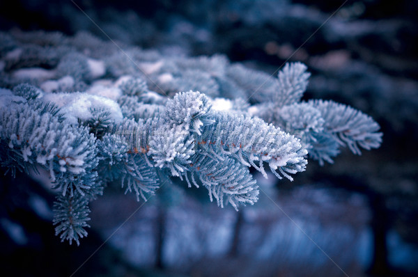 Winter frost on spruce tree   Stock photo © fanfo