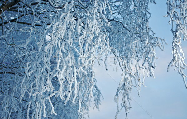 Birch trees with hoarfrost on the branches Stock photo © fanfo