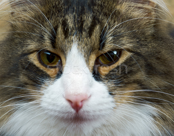 Adult tabby cat  Stock photo © fanfo