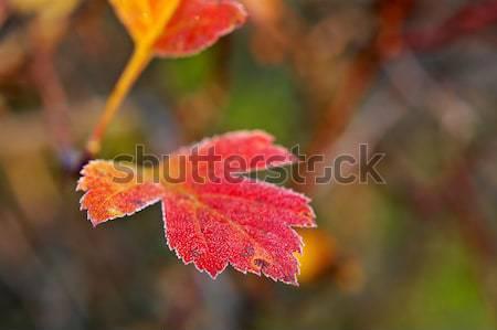 Fagy fedett levél fény emelkedő nap Stock fotó © fanfo