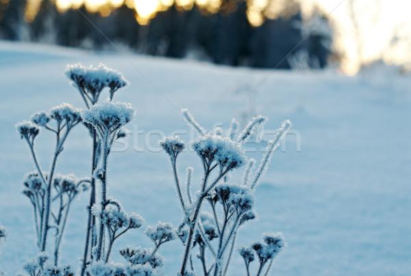 Tél tájkép szépség égbolt virág fa Stock fotó © fanfo