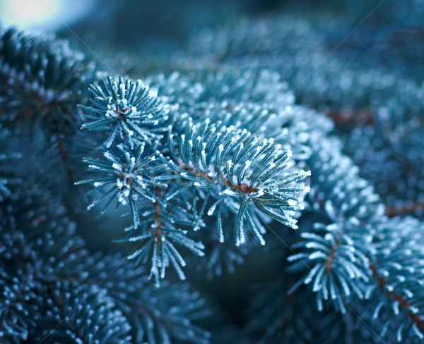 зима мороз ель дерево рождественская елка Сток-фото © fanfo